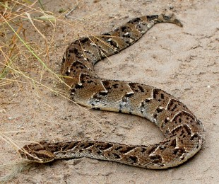 Puff Adder (Photo by Wendy Fidao)